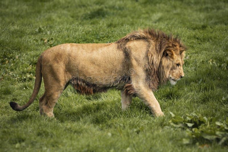 A lion stalks through grass royalty free stock photos
