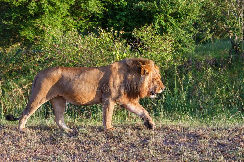 Large male lion walking on the savannah in Africa royalty free stock photo