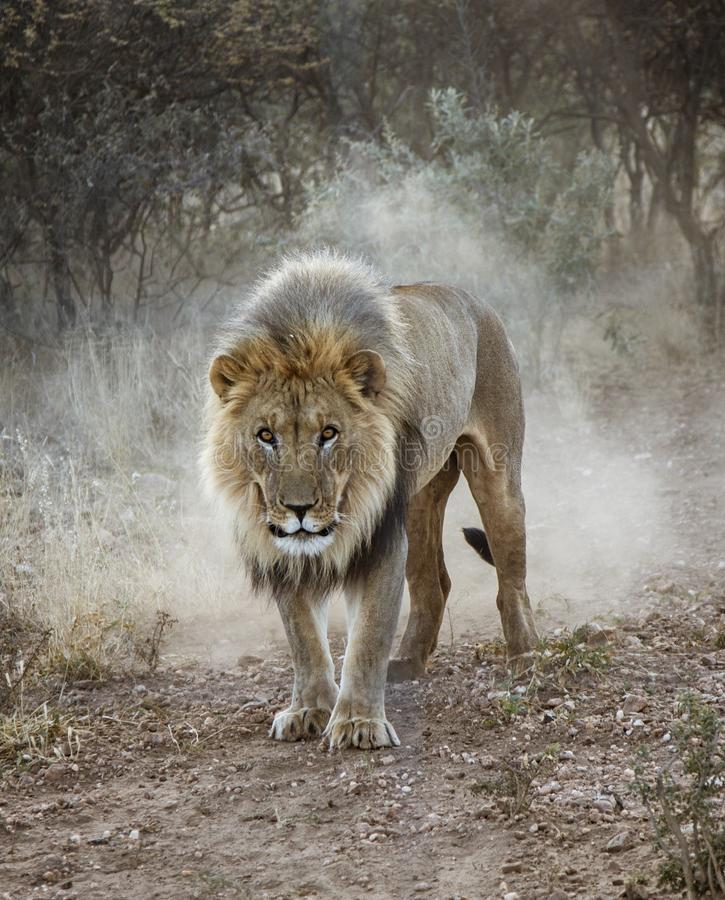 Free Large Male Lion Walks In The Desert Royalty Free Stock Images - 138795549