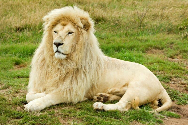 Large male white lion royalty free stock image