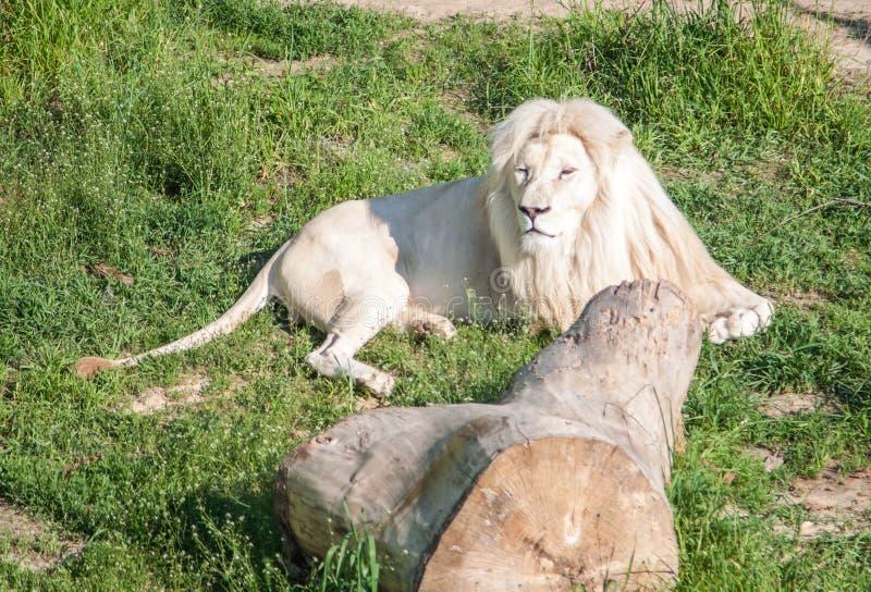 Large male white lion royalty free stock photo