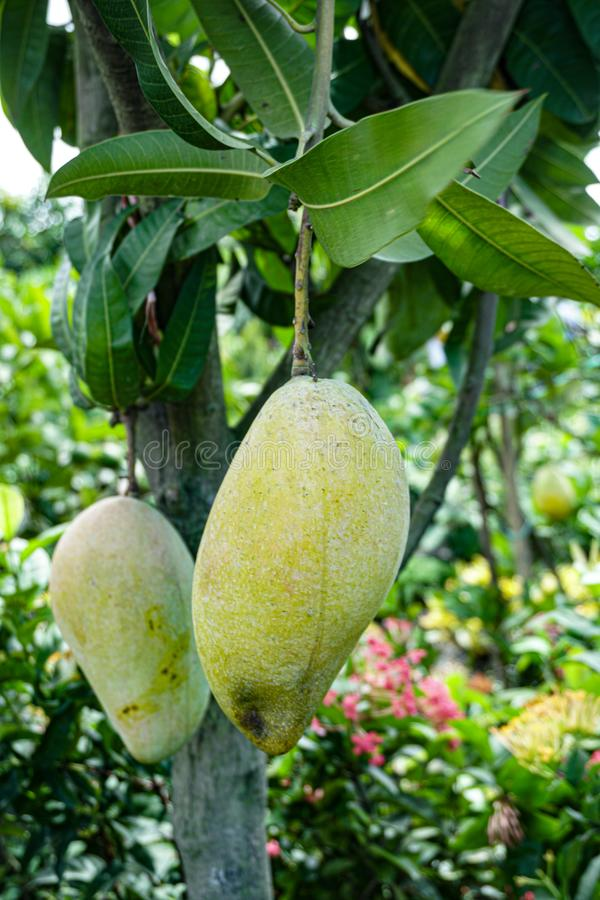 Free Large Mango Rows In The Mango Garden. This Is A Business Garden. Mango Is A Favorite Of All.Bangladesh Is One Of The Mango Royalty Free Stock Images - 161147269
