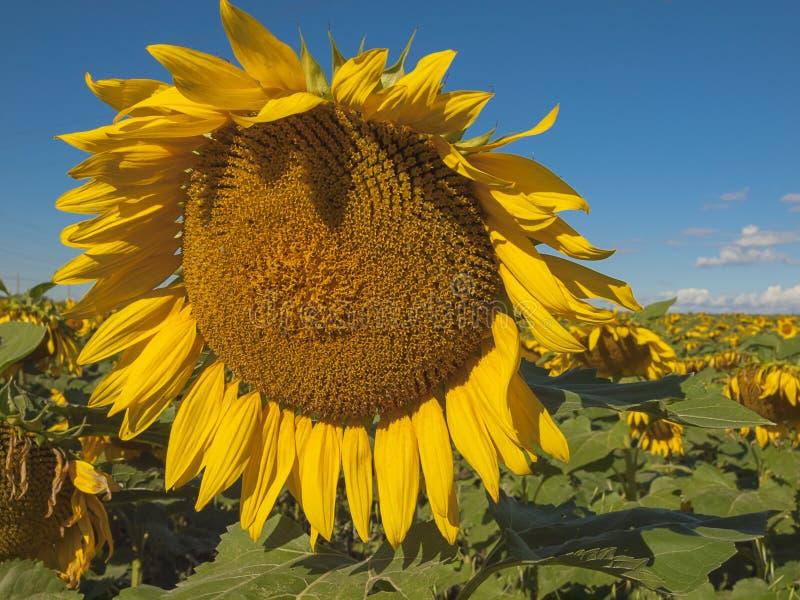 Large matured sunflower. Winnipeg. Canada. Large matured sunflower against the blue sky . Winnipeg. Canada royalty free stock image