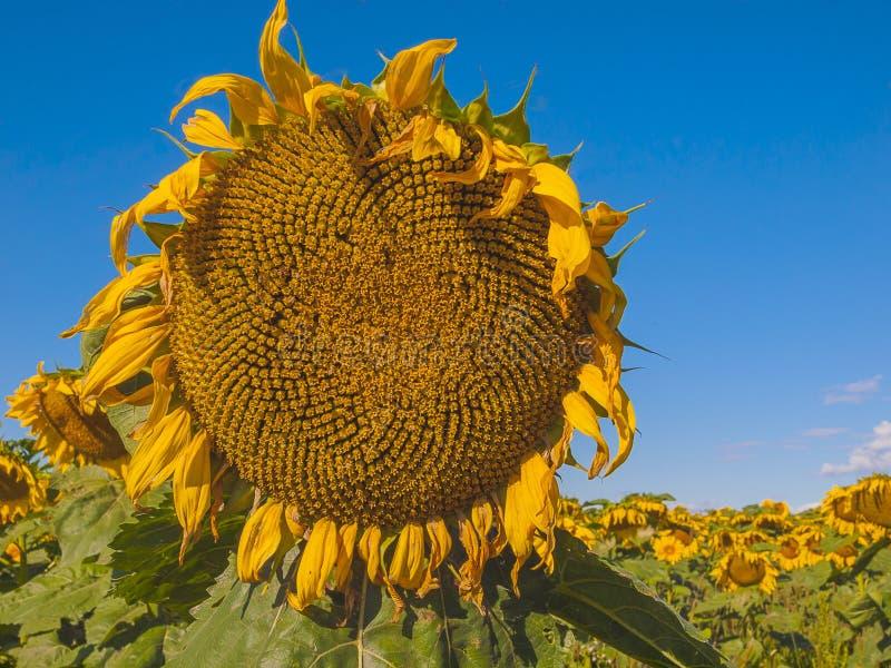Large matured sunflower. Winnipeg. Canada. Large matured sunflower against the blue sky . Winnipeg. Canada stock photo