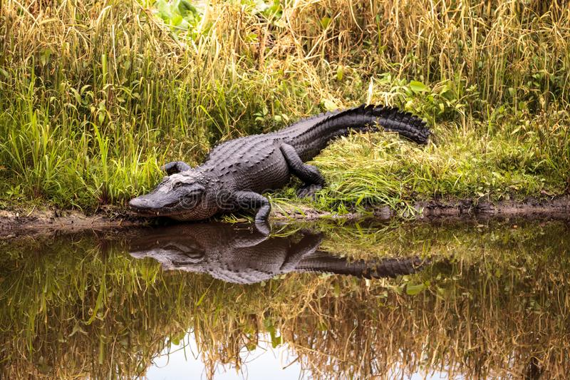 Large menacing American alligator Alligator mississippiensis. In the wetland and marsh at the Myakka River State Park in Sarasota, Florida, USA royalty free stock photography