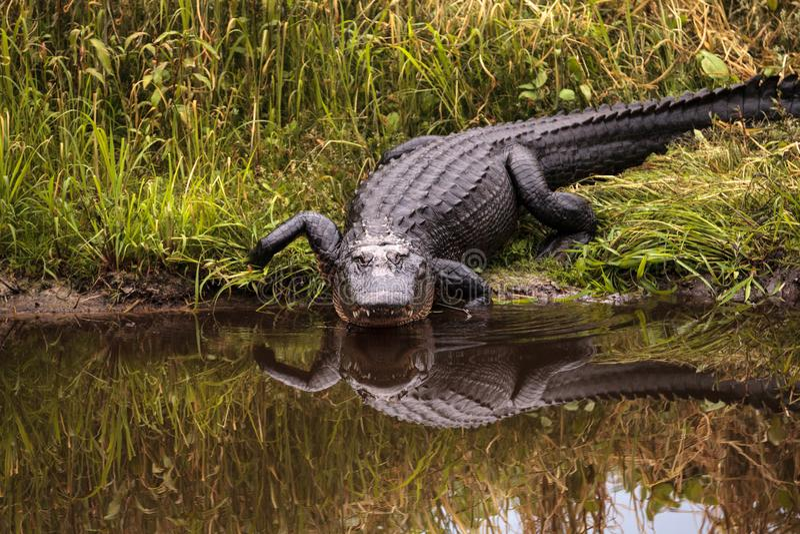 Large menacing American alligator Alligator mississippiensis. In the wetland and marsh at the Myakka River State Park in Sarasota, Florida, USA royalty free stock image