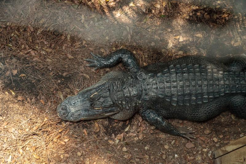 Large menacing American alligator Alligator mississippiensis. In the wetland and marsh at the Myakka River State Park in Sarasota, Florida, USA royalty free stock photos