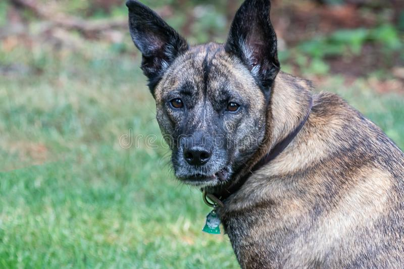 large mixed breed brindle dog resting in green stock images
