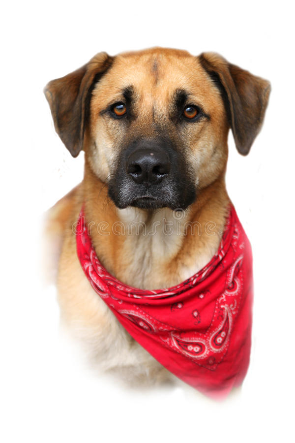 Large mixed breed dog on white background. Portrait or bust of handsome large mixed Boxer, Retreiver, Shepherd breed dog, fading to a white background stock image