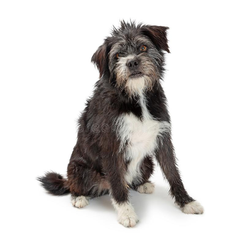 Large Mixed Terrier Breed Dog Sitting royalty free stock photos