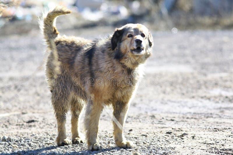 Large mongrel barks stock image