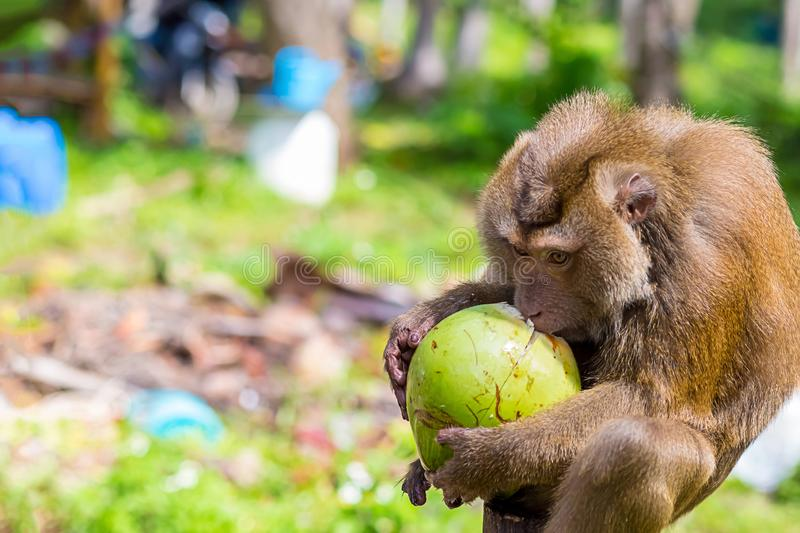 Large monkey macaque drinks coconut juice from a green large coconut extracted from a palm tree against a jungle background in a royalty free stock image