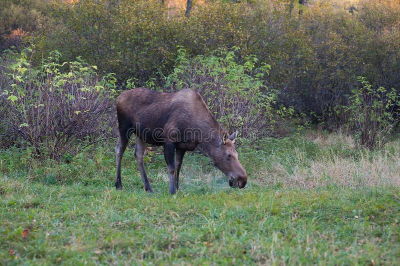 Moose Grazing in Anchorage`s Kincaid Park stock photography