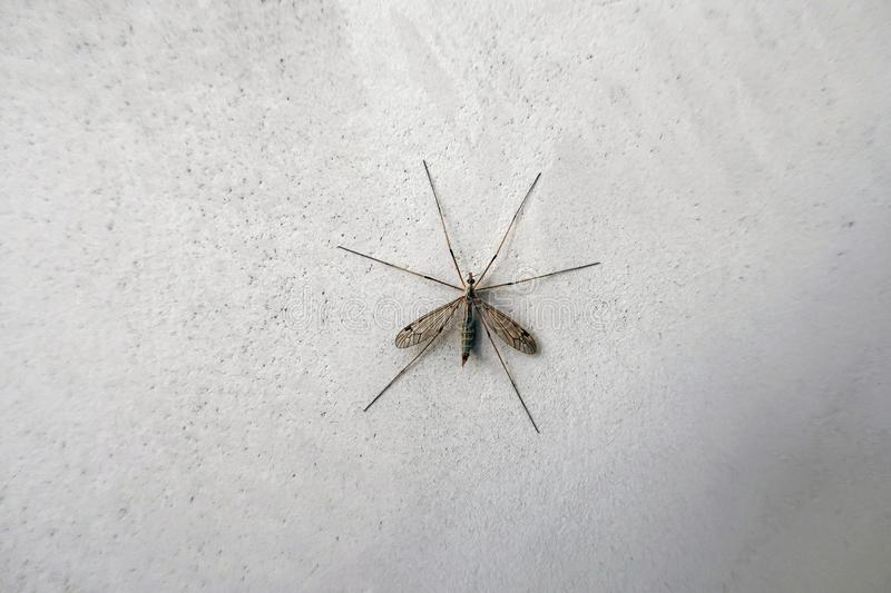 Big mosquito on the wall stock images