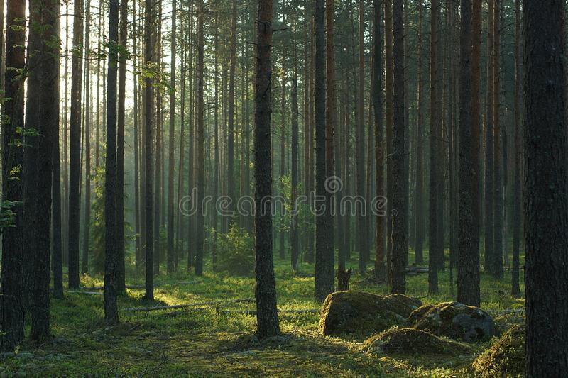 Large moss-covered boulders are illuminated by the sun in a beautiful pine forest in summer royalty free stock photos