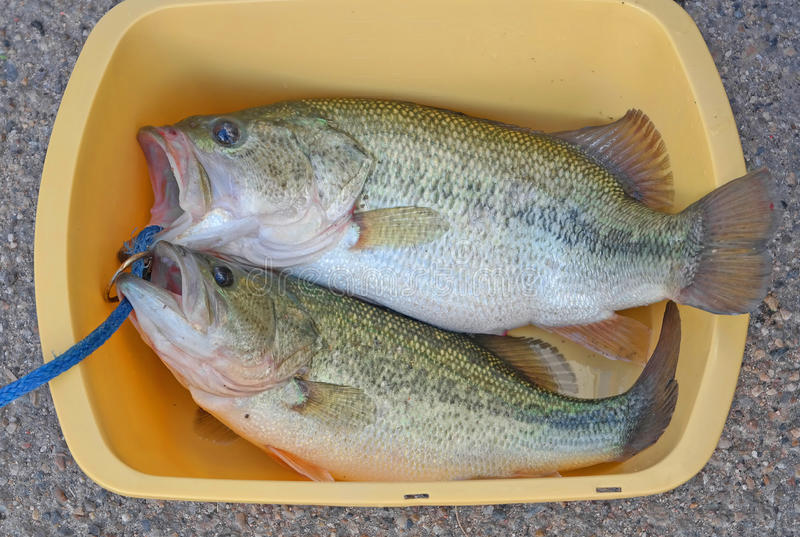 Large Mouth Bass. A close-up image of a pair of large mouth bass ready for filleting royalty free stock image