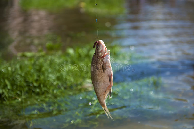Large mouth bass fish on a hook. Large mouth bass fish hunted from the river royalty free stock images