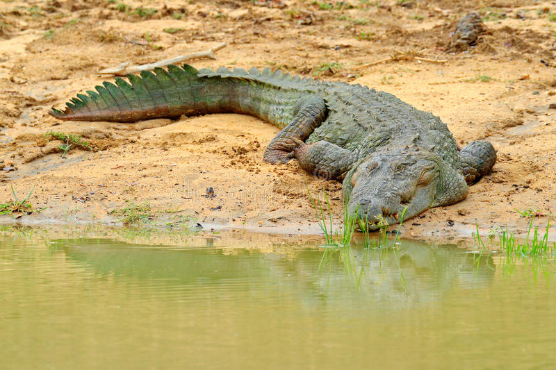 Large Mugger crocodile Crocodylus palustris relaxing on the rock in river with opened mouth. River in foreground, green mangrove i royalty free stock photo