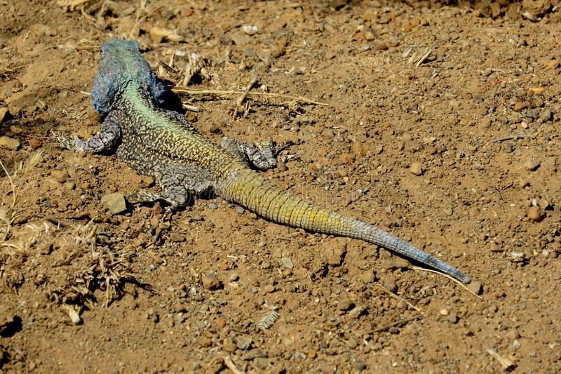 Large multi-colored lizard sitting on sand royalty free stock photos