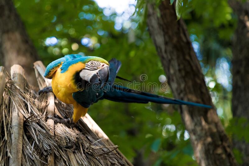 Large multi-colored parrot Ara sits on a branch on the background of the jungle stock image