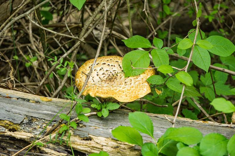 Large Mushroom by a Log in the Forest stock photo
