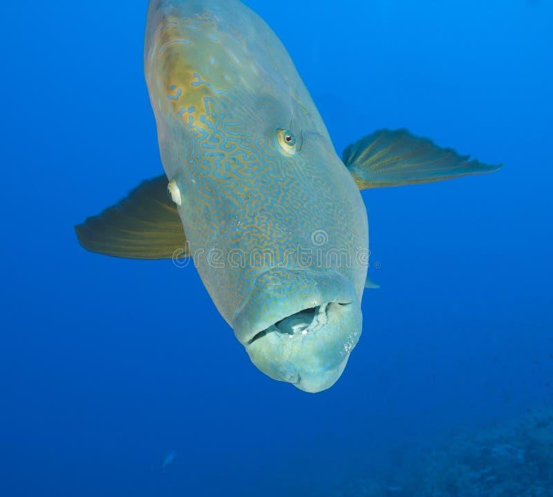 Free Large Napoleon Wrasse Underwater Stock Photos - 25404893