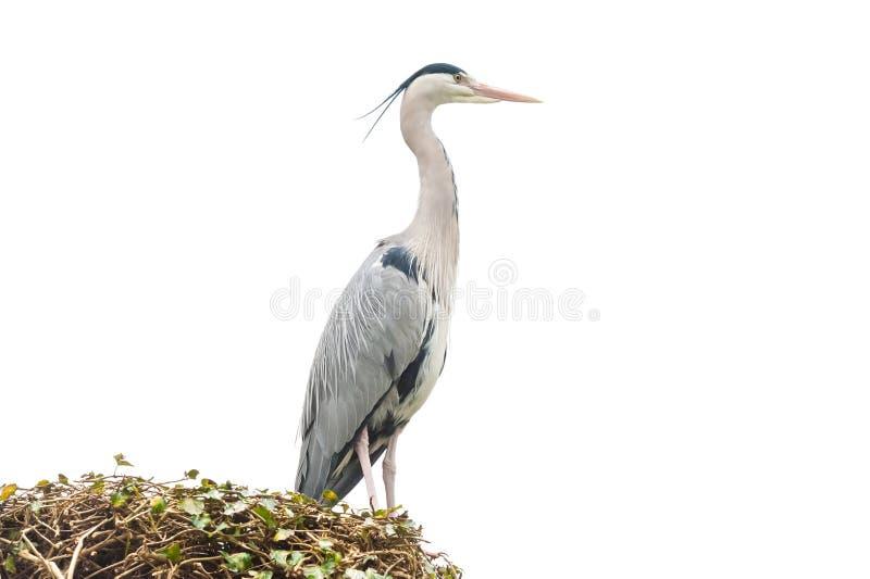 Grey heron on white. Large nesting grey heron bird isolated on a white background royalty free stock images