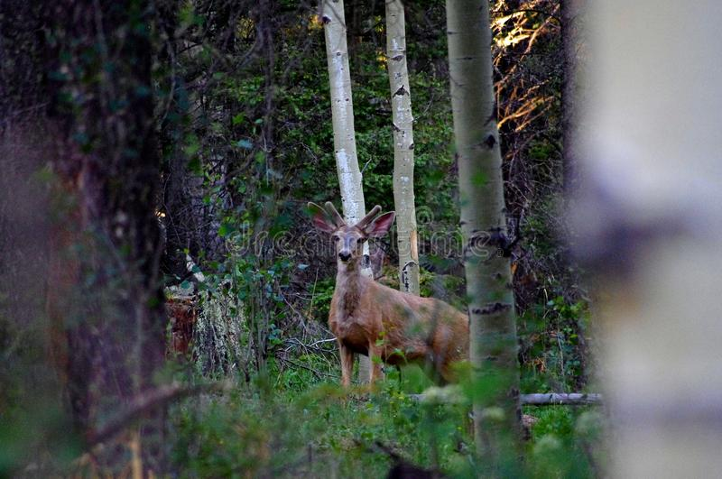 Large buck mule deer standing in forest with antlers in full summer velvet stock image