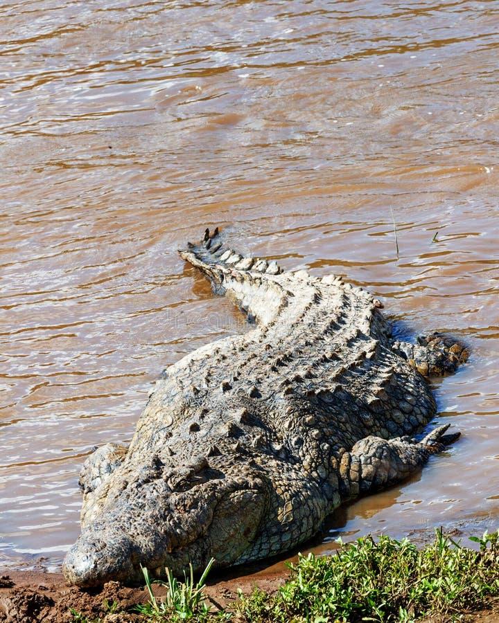Large Nile Crocodile Eat A Fish On River Bank Stock Photo