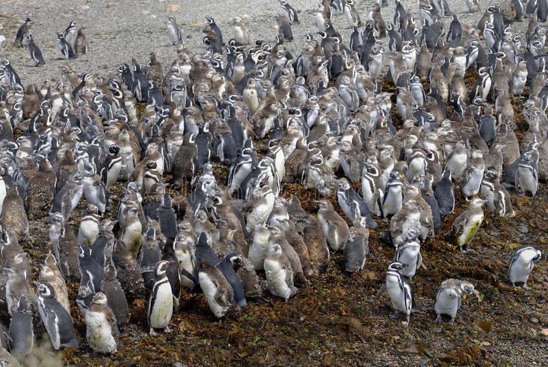 Large number of Magellanic Penguins. Are migration to Punta Tombo stock photography