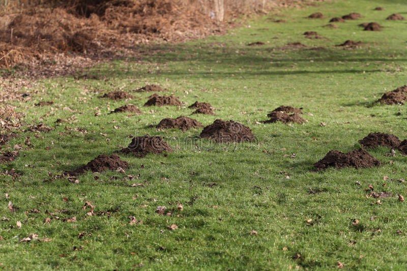 Large number of mole hills. Large number of mole hills in public grass land royalty free stock photography
