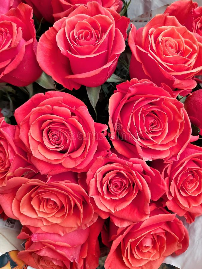 A large number of red roses as a festive background. royalty free stock photo