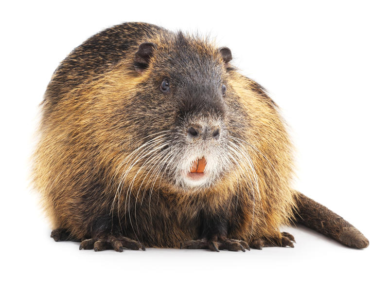 Large nutria. royalty free stock images