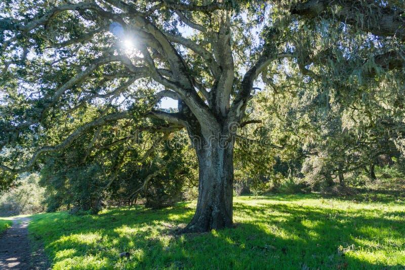 Large oak tree providing shade, Garland Ranch Regional Park, Carmel Valley, Monterey Peninsula, California stock image