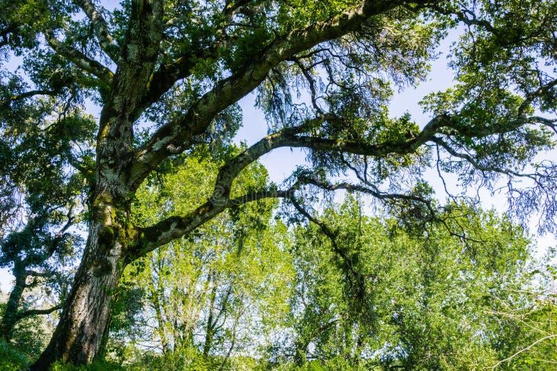 Large oak tree providing shade, San Francisco bay area, California royalty free stock image