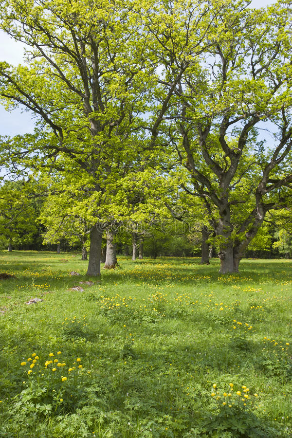 Download Large oak trees stock image. Image of flower, trees, scenery - 25387835