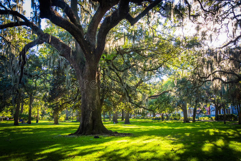 Large oak trees and spanish moss in Forsyth Park, Savannah, Georgia. Large oak trees and spanish moss in Forsyth Park, Savannah, Georgia stock photos