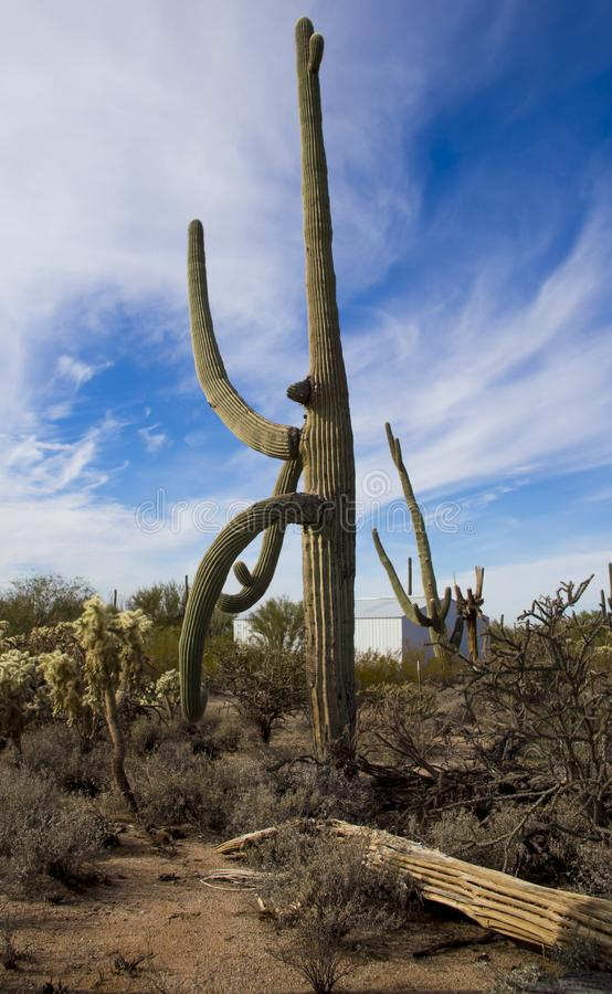 Old saguaro and skeleton desert plants. Life and death in the desert royalty free stock image