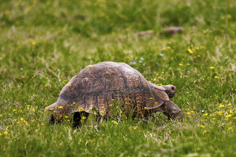 Large Old tortoise. Large Old tortoise walking on green grass stock photography