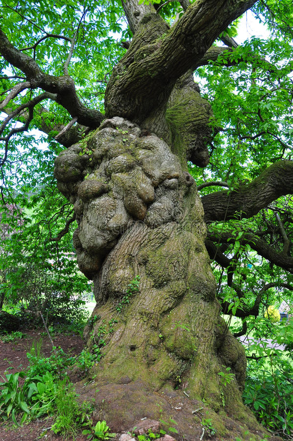 Large old tree trunk royalty free stock images