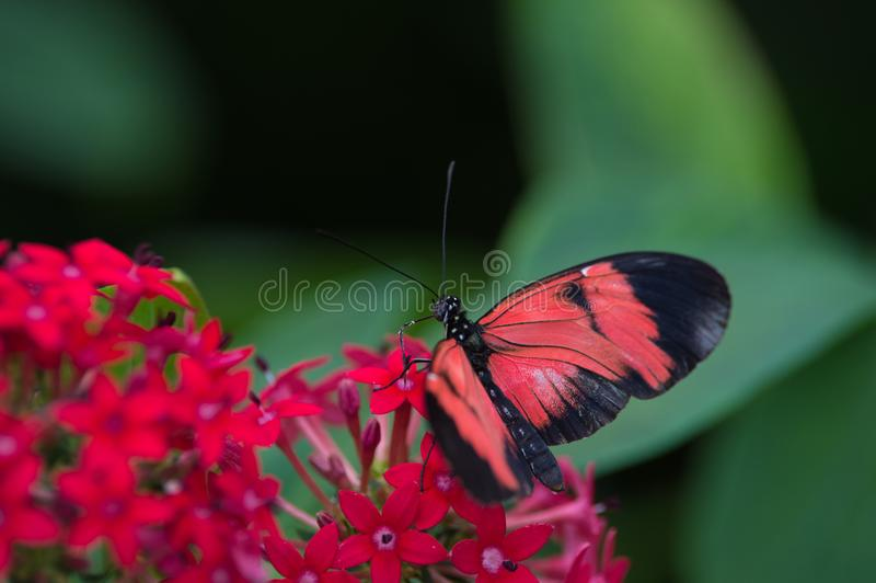 Butterfly alone red white and black posed from above on a red flower on green background. The large opening allows a boukeh and therefore a harmonious background royalty free stock photos