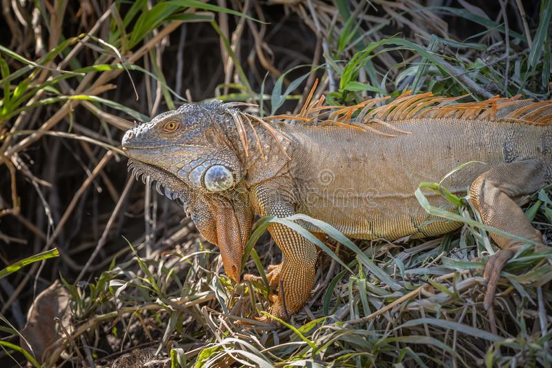 Large orange costa rician river iguana. Along the river bank royalty free stock photography