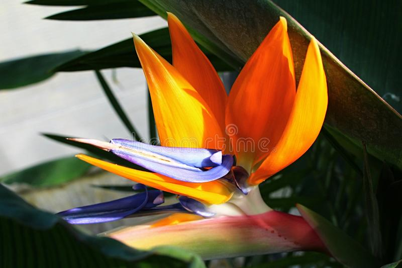 Large orange crane flower Strelitzia Reginae with light blue central petal. stock photos