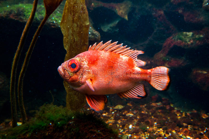 Large orange fish stock photos
