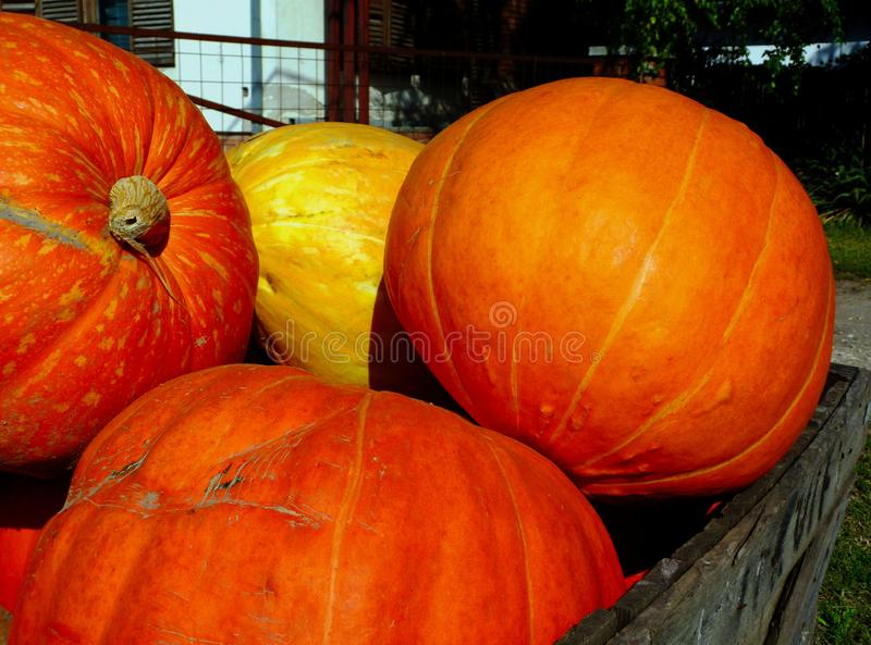 Large orange pumpkins in wooden storage box. Holloween concept. Large bright orange pumpkins in textured brown wooden storage box. bright sunlight with shadow stock photography