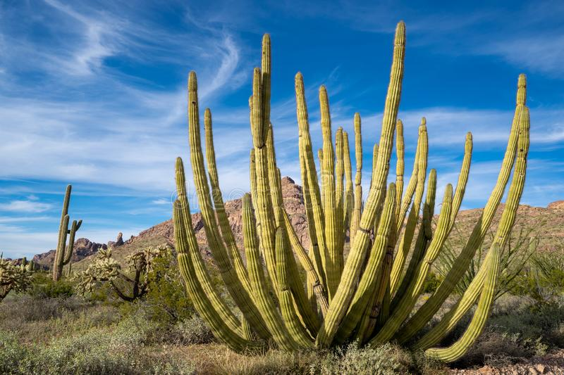 Large Organ Pipe Cactus growing in Organ Pipe National Monument in extreme southern Arizona, the only place this cactus grows wild royalty free stock photo