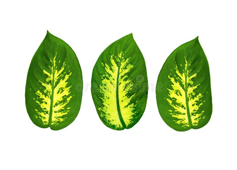 Large oval leaves of a tropical plant Dieffenbachia isolated on white background. Group of objects for design royalty free stock image