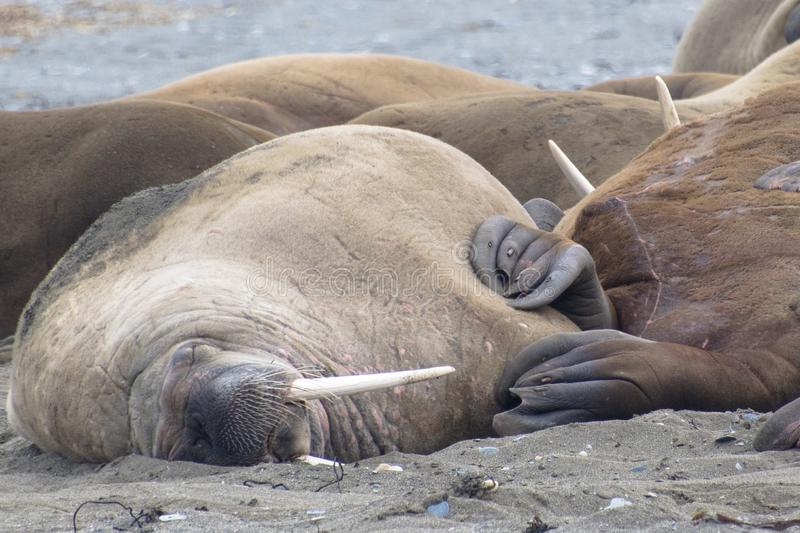Walruses in Svalbard - Norway, North Pole. A large pack of Walruses rest on the beach in the Svalbard Island - north pole stock images