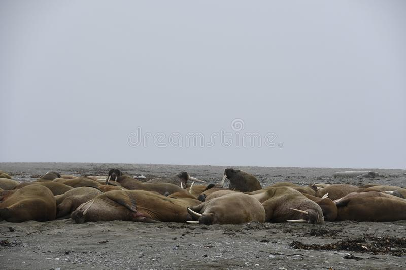 Walruses in Svalbard - Norway, North Pole. A large pack of Walruses rest on the beach in the Svalbard Island - north pole stock photos