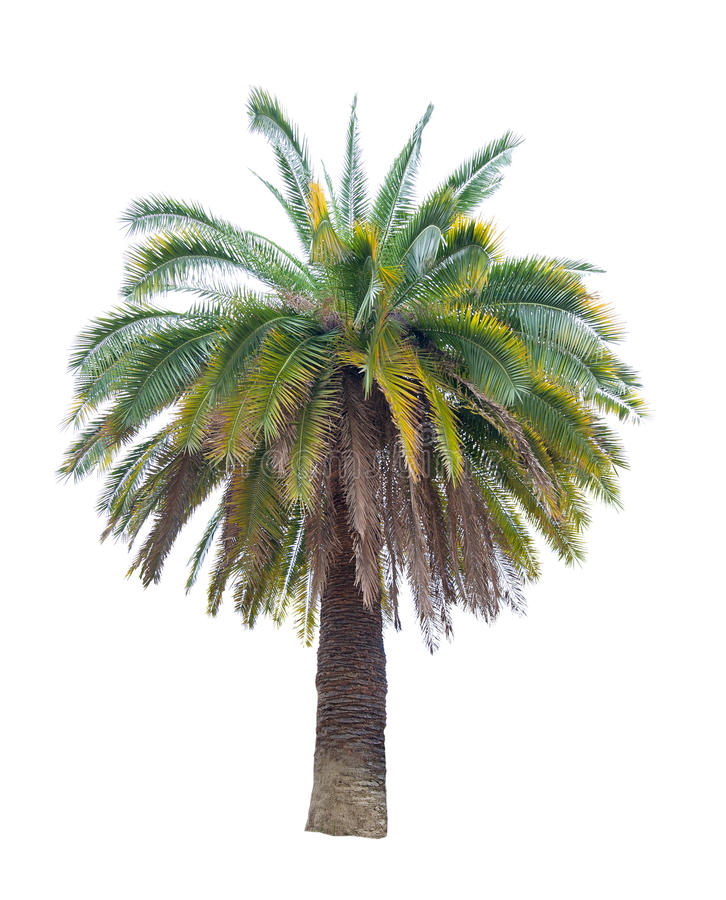 Free Large Palm Tree Isolated On White Stock Images - 26959274